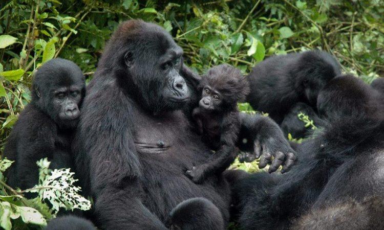 15 Days Best of Uganda Gorillas
