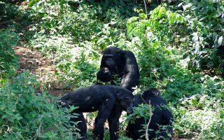 3 Days Chimpanzees