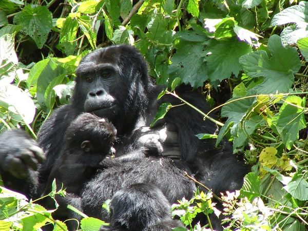 Best Places to Track Mountain Gorillas in Africa