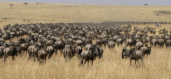 Migration Kenya Safari