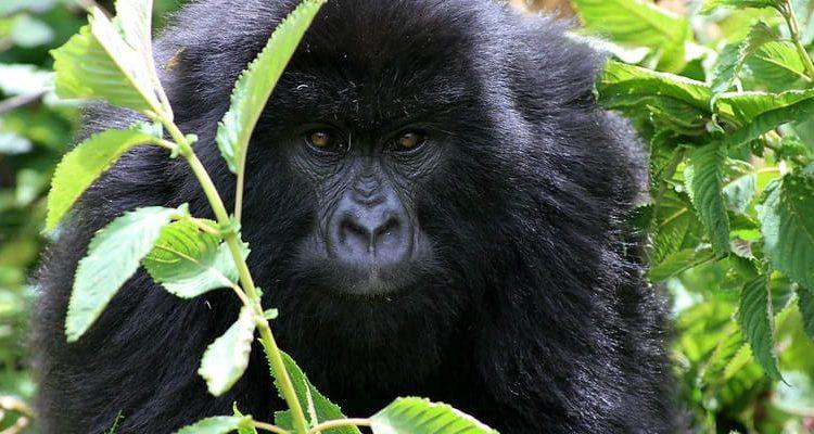 Getting a Gorilla Trekking Permit in Congo