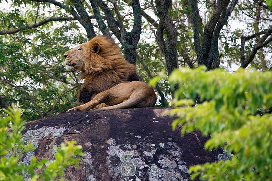 Lion in Kidepo Valley National Park
