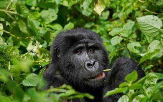 9 Days Uganda Rwanda & Congo Safari