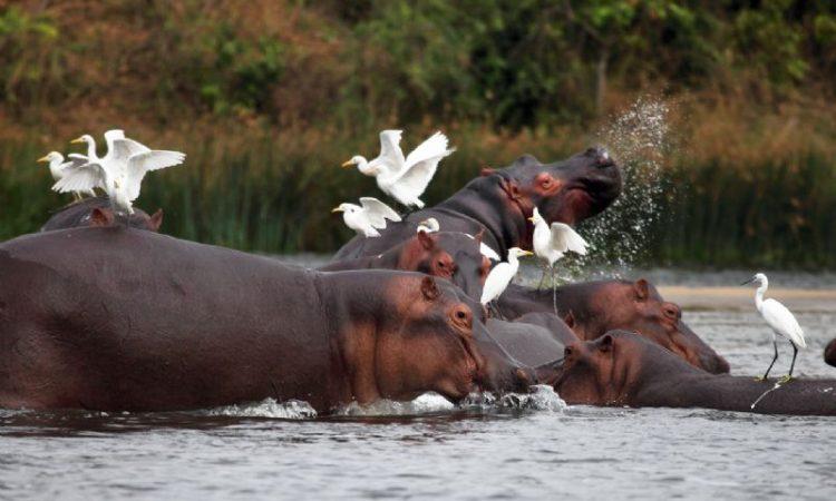 Hippos along Kazinga Channel