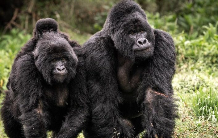 6 Days Uganda Gorilla Safari