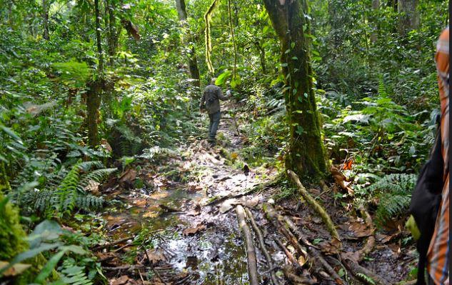 Kalinzu forest chimpanzee trekking permits - Kalinzu chimpanzee trekking