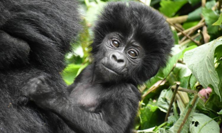 10 days Uganda Rwanda and Congo safari
