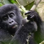 5 Days Uganda Budget Primates tour from Kigali