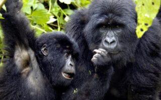 10 Days Best of Congo safari tour