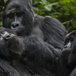 2 Days Virunga Gorilla Trekking Safari from Kigali