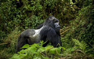 4 Days Virunga Gorilla Trekking Safari