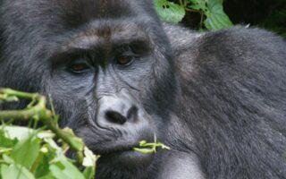 5 Days Congo Gorilla Trekking Safari