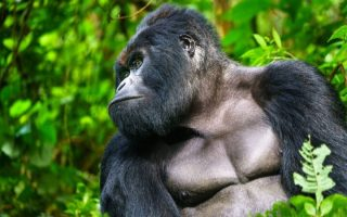 5 Days Virunga Gorilla & Chimpanzee Safari