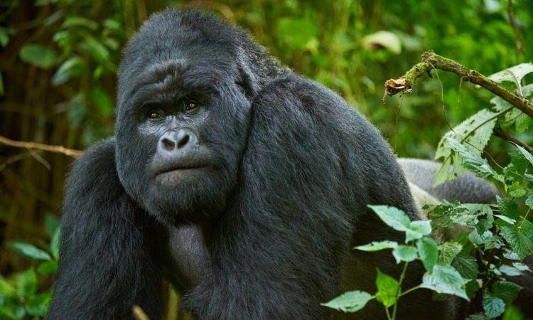5 Days Virunga Gorilla Trekking & Nyiragongo Hike