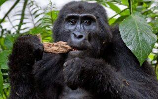 5 Days Virunga & Nyungwe Forest Primate Safari