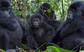 5 Days Volcanoes and Virunga gorilla trekking safari tour