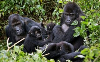6 Days Congo Gorilla Trekking & Nyiragongo hike