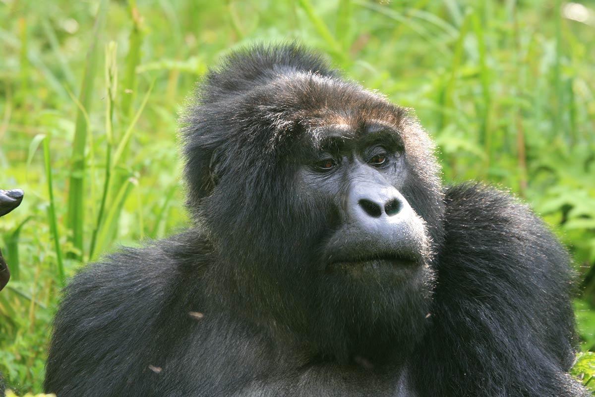 7 Days Uganda Congo Rwanda Gorilla Trekking Safari