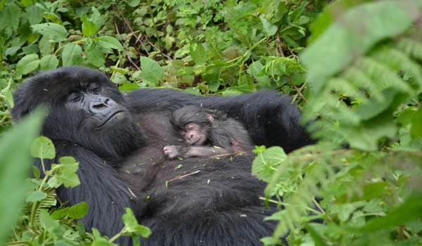 New Born baby gorilla in Ruhija sector of Bwindi Impenetrable national park