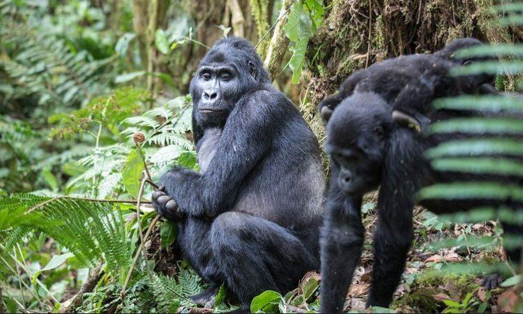 4 Days Bwindi and Ngamba island primate safari