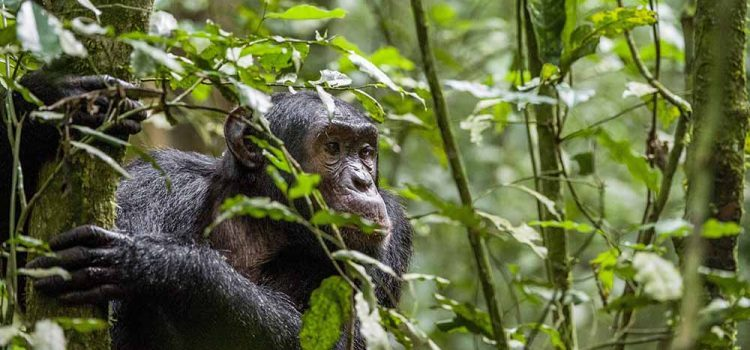 5 Days Murchison falls Big 5 & Kibale Chimpanzee Trekking Tour