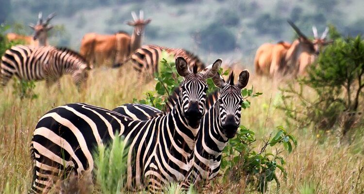 5 Days Lake Mburo Wildlife & Bwindi Gorilla Trekking safari