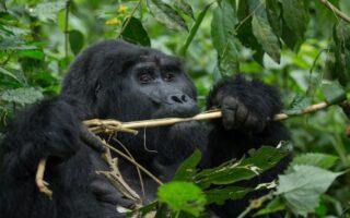 5 Days Rwanda Gorilla Trekking and Dian Fossey Hike
