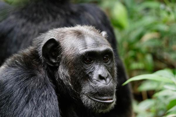 7 Days Chimpanzee, Wildlife & Gorilla Trekking Safari