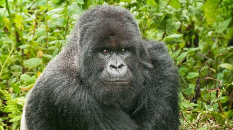 Uganda Gorilla Trekking Guide