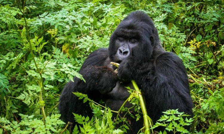 8 Days Uganda Rwanda Gorillas & Wildlife Safari