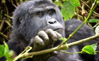 5 Days Bwindi Gorillas and Kibale Chimpanzee Safari