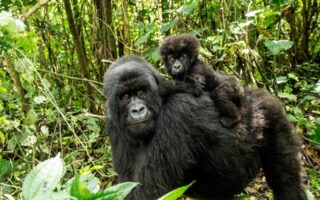 Where to see Mountain Gorillas in Africa